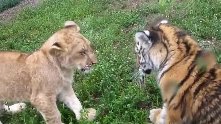 Enlace a Terrible batalla entre un león y un tigre, ¿por quién apuestas?