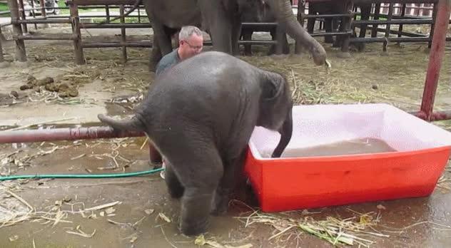 Enlace a Pues anda que no se lo pasa bien en la piscina este elefantito patoso