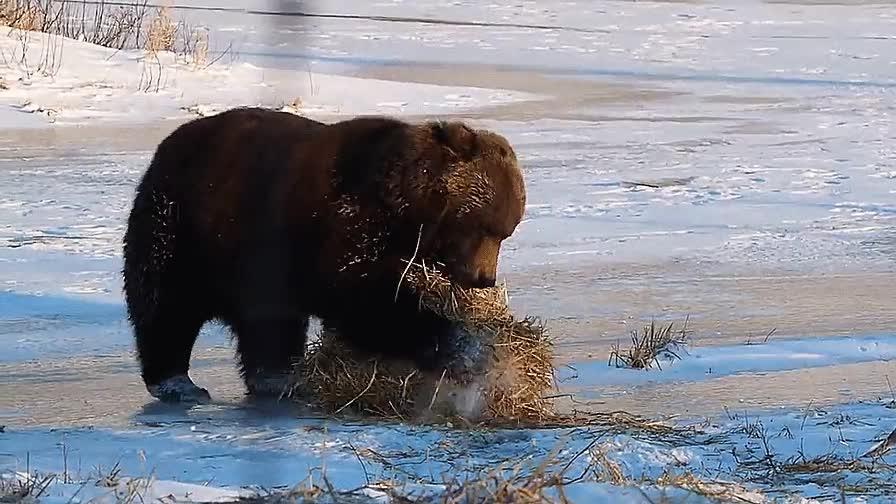Enlace a Este oso debió ser un gato en una vida anterior