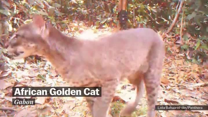 Enlace a El gato dorado africano, una especie muy escurridiza rara vez grabada en vídeo