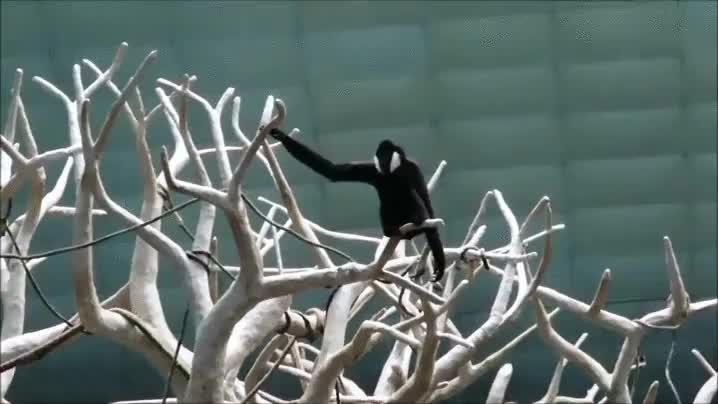 Enlace a Estos árboles son el perfecto campo de entrenamiento para los monos araña