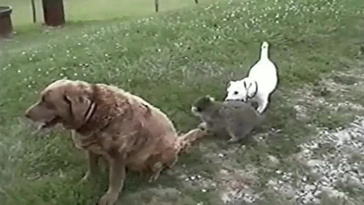Enlace a Los mapaches pueden ser muy cansinos, pero a un labrador le sobra la pacienica