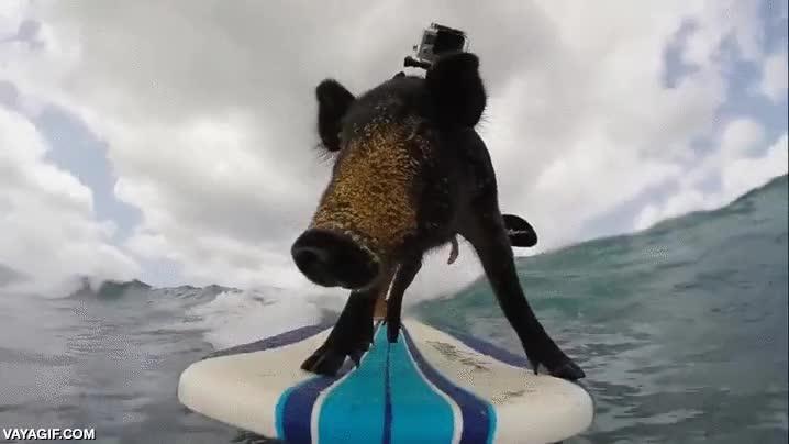 Enlace a Con todos ustedes, el cerdo surfista