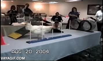 Enlace a El agility con perros es demasiado fácil, yo lo hago con gallinas