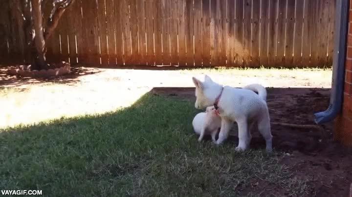 Enlace a El perro es el mejor amigo del hombre, ¿pero el mejor amigo del perro es el cerdo?