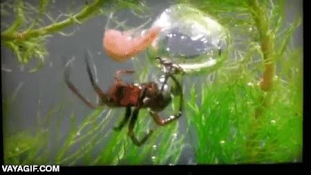 Enlace a La araña que construía sus nidos debajo del agua en una burbuja