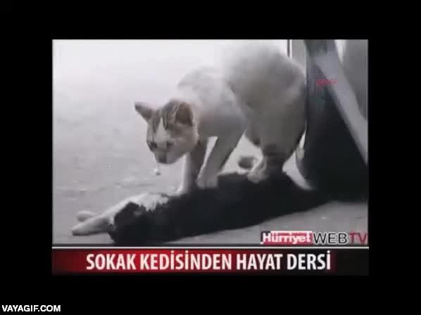Enlace a Este gato intenta reanimar a su compañero atropellado, intenta no llorar