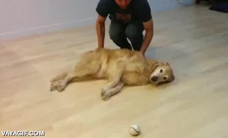 Enlace a Probablemente el perro más vago para jugar a buscar la pelotita