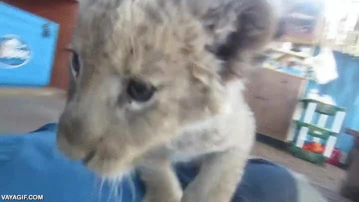 Enlace a Un hombre atacado por un terrible león blanco africano