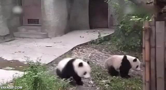 Enlace a Terrible ataque de dos pandas a su cuidadora, no, en serio, adorabilidad máxima