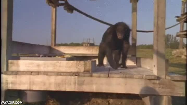 Enlace a Un chimpancé y su cuidadora se reúnen 18 años después