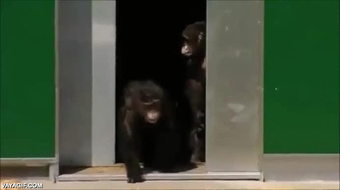 Enlace a Chimpancés de laboratorio liberados en un santuario de animales tras 30 años enjaulados