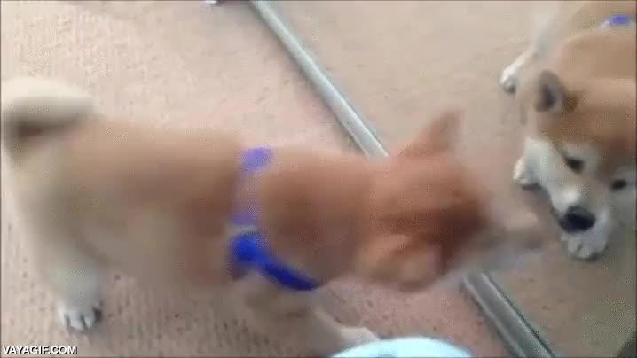 Enlace a Algunos perros tienen una curiosa relación con los espejos