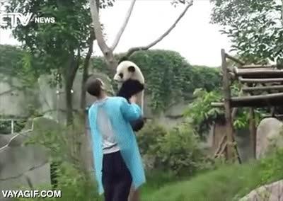 Enlace a No hay nada más adorable que un cachorro de oso panda que no sabe cómo bajar de un árbol