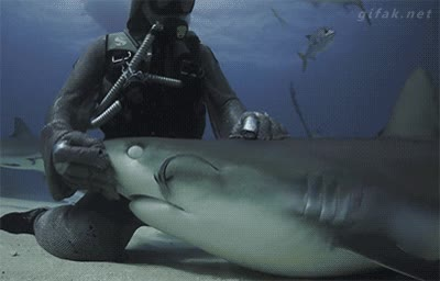 Enlace a Hacer dormir a un tiburón