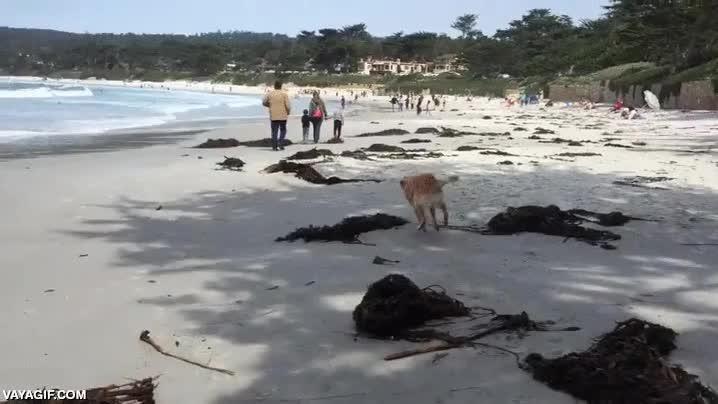 Enlace a Felicidad y locura caninas desatadas en la playa