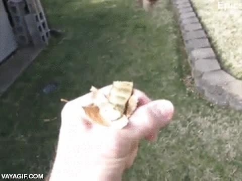 Enlace a Un colibrí muy listo que acaba consiguiendo su premio actuando como un mini-soplador de hojas