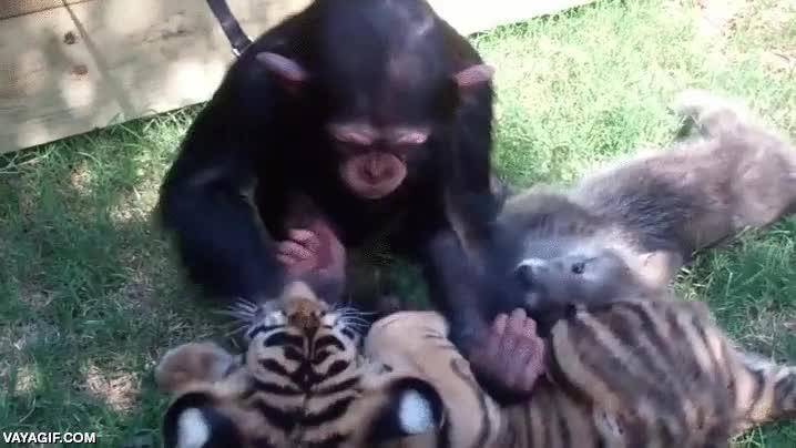 Enlace a Sobrecarga de adorabilidad, tres crías de chimpancé, tigre y lobo jugando juntos