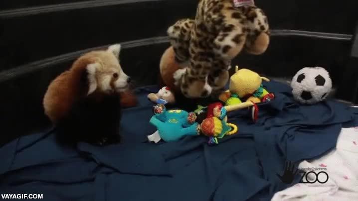 Enlace a Si existe algo más adorable que dos crías de panda rojo gemelas, yo no lo he visto