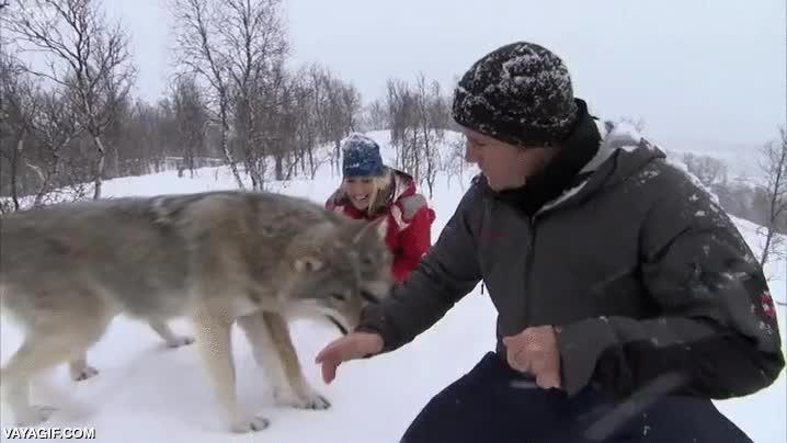 Enlace a Reporteros de la BBC acercándose a una manada de lobos salvajes
