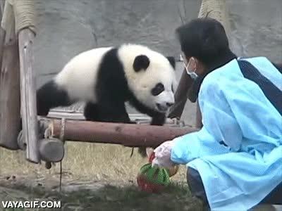 Enlace a Sistema especial de transporte de osos panda