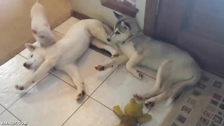 Enlace a Un cerdito es un gran compañero como mascota para tus perros
