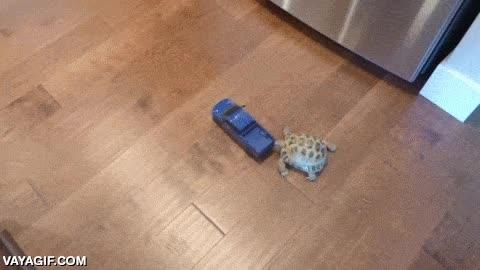 Enlace a Una tortuga persiguiendo un coche teledirigido, ¿lo atrapará?