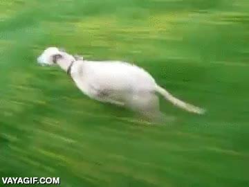 Enlace a Muchos perros intentan atrapar a los coches, este tiene que esperarse para no adelantarlos