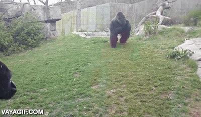 Enlace a ¿Recordáis el gif del gorila que casi rompe el cristal del zoo? Se nos había escapado un detalle