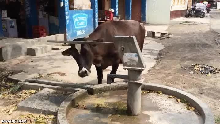 Enlace a Una vaca sedienta puede ser más espabilada de lo que te puedas imaginar