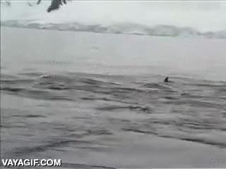 Enlace a Pingüino salvando su vida metiéndose de polizón en la barca de estos investigadores