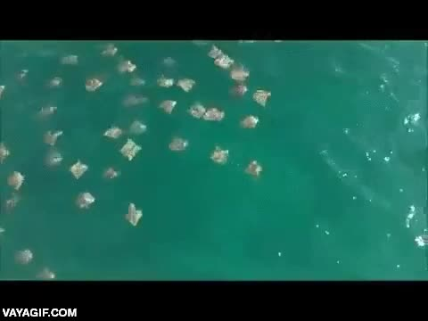 Enlace a Así son las migraciones de las manta raya