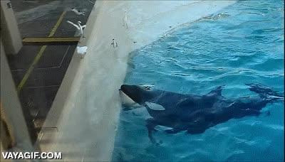 Enlace a Dicen que las orcas son de los animales más inteligentes del planeta, atención al truco para cazar