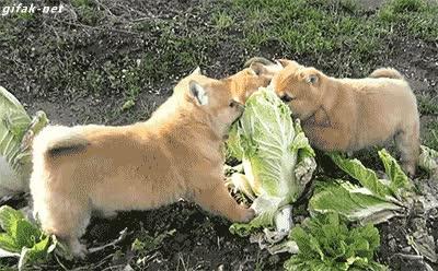 Enlace a Cachorros de shiba inu atacando y despedazando viva a su presa, abstenerse sensibles