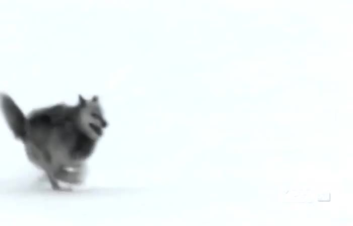 Enlace a La nieve puede ser muy traicionera, los lobos lo saben bien