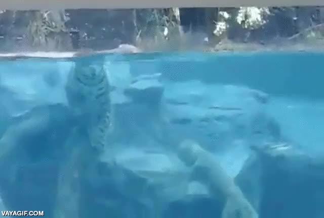 Enlace a ¿Habías visto alguna vez a un jaguar buceando?