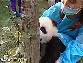 Enlace a Un adorable cachorrito de oso panda aprendiendo a trepar a un árbol