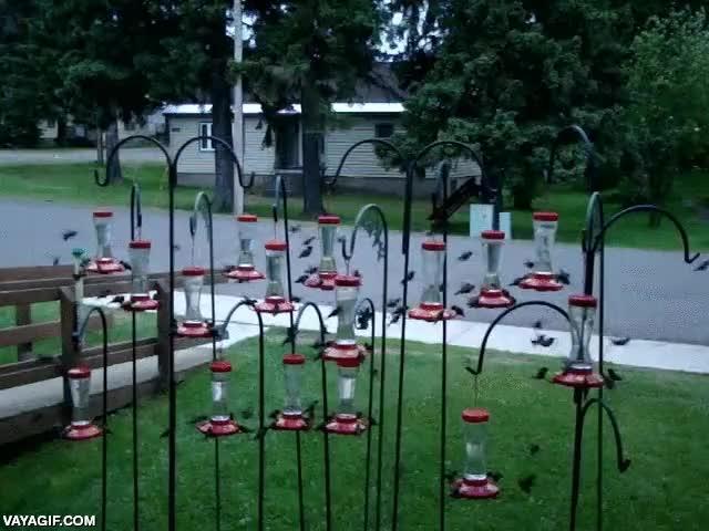 Enlace a Un enjambre de colibrís