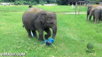 Enlace a Un elefante encuentra una cinta elástica con la que jugar y pasa el momento más feliz de su vida