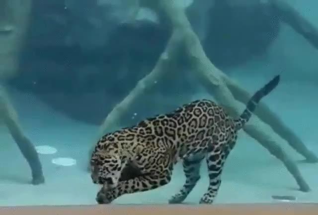 Enlace a No contento con bucear, el jaguar es capaz de comer bajo el agua