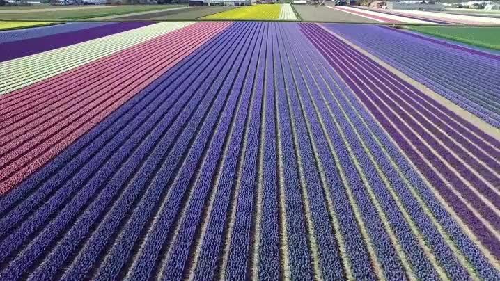 Enlace a Sobrevolando los campos de flores en Holanda