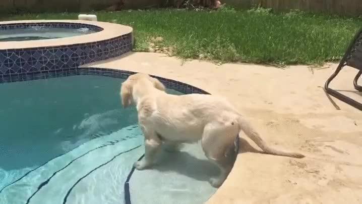 Enlace a Este cachorro de golden retriever experimentando el agua por primera vez
