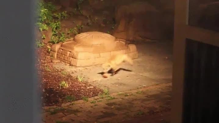 Enlace a Un cachorro de zorro practicando sus técnicas de caza