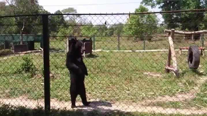 Enlace a Un oso pardo caminando a dos patas, casi que parece un hombre disfrazado, pero no