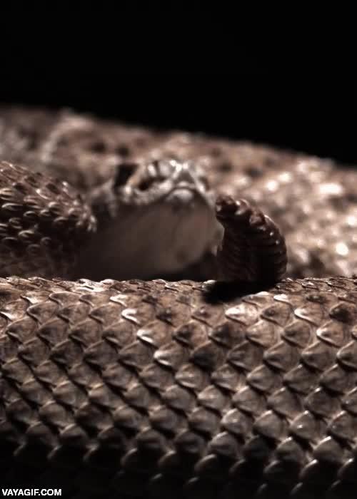 Enlace a El movimiento de la cola de una serpiente de cascabel a cámara lenta