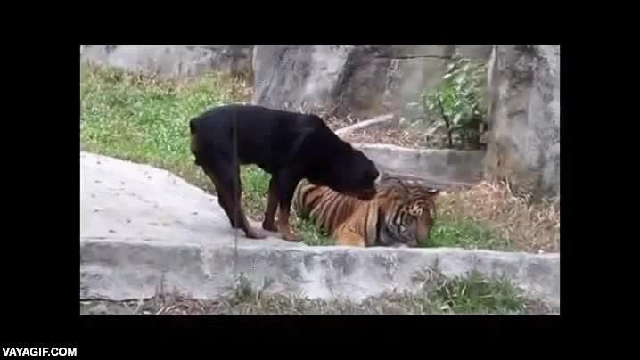 Enlace a No es tan sencillo intentar robarle algo a un tigre aunque seas un rottweiler