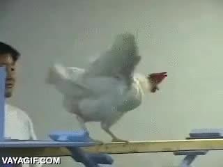 Enlace a El circuito de obstáculos para gallinas