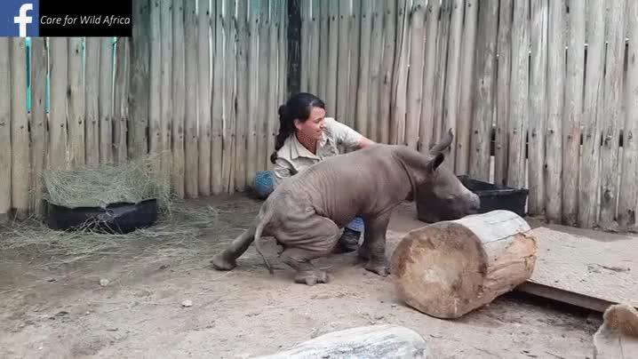 Enlace a A los bebés rinocerontes también les gusta que les rasquen detrás de las orejas