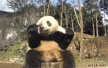 Enlace a Y por eso los pandas están en peligro de extinción