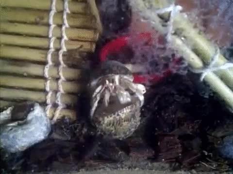 Enlace a Así cambia de de casa un cangrejo ermitaño